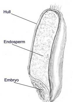 Gluten's Origin: Endosperm